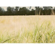 Wheat Field Closeup Photographic Print