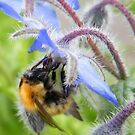 Bee on Blue by ElsT