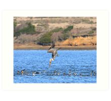 Brown Pelican Diving Art Print