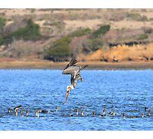 Brown Pelican Diving Photographic Print