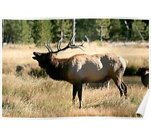 Bugling Elk in Yellowstone Poster