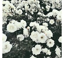Pure Roses by gArden8