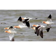 Ballet of the American Avocets Photographic Print