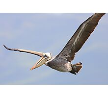 Brown Pelican in Flight Photographic Print