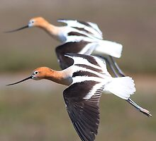 American Avocets in Synchronized Flight by animals