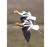 American Avocets in Synchronized Flight Photographic Print