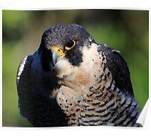 Portrait of the Peregrine Falcon Poster