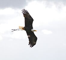 Bald Eagle in flight (Haliaeetus leucocephalus) by Tony Reed