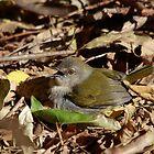 Green-Backed Camaroptera by Aldi221