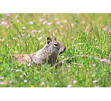 Groundhog in the Meadow Photographic Print