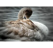 Cygnet To  Swan Photographic Print