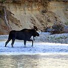Young bull moose in the Bitterroot River by amontanaview