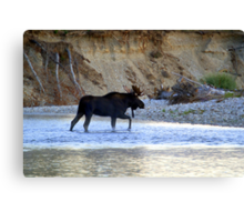 Young bull moose in the Bitterroot River Canvas Print