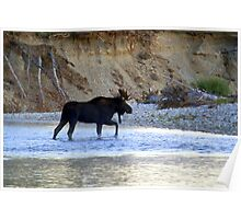 Young bull moose in the Bitterroot River Poster