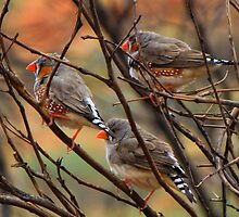 Zebra Finches - Ayers rock  by Ben |  Greg