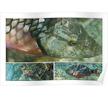 Stoplight Parrot Fish Poster