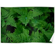 Water on Fern Poster