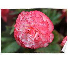 Pink and White Carnation Poster