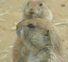 Prairie Dogs at Play by Lindsey Fisher