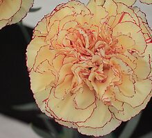 Yellow Red Tipped Carnation by PoetCRS