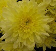 Yellow Chrysanthemum by PoetCRS