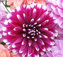 Red White Tipped Chrysanthemum by PoetCRS