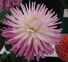 Pink Tipped White Chrysanthemum by PoetCRS