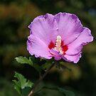 Pinky purpley Althea by Chelei