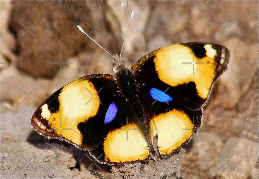 African Butterfly Series - FEMALE YELLOW PANSY - Genus Junonia,   Pansies by Magriet Meintjes
