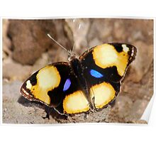 African Butterfly Series - FEMALE YELLOW PANSY - Genus Junonia,   Pansies Poster