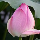 Lotus Blossom by chinalin