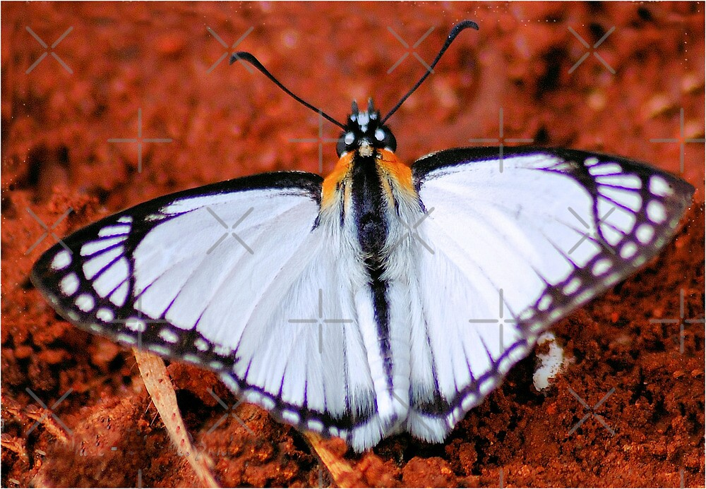 WHITE CLOAKED SKIPPER - Leucochitonea levubu - Skippers by Magriet Meintjes