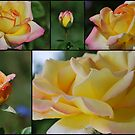 Rosa 'Peace' by Julie Sherlock