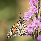 Monarch and Blazing Star 2-2015 by Thomas Young