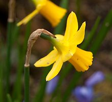 Early Spring Daffodils by m E Grayson