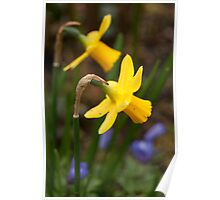Early Spring Daffodils Poster