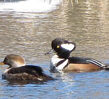 Hooded Merganser Ducks-Mates by Dee Belanger