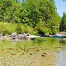 Salmon Spawning by James Zickmantel