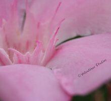 Pink Splash by Greybeard