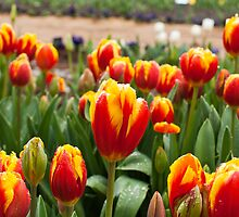 Orange and Yellow Tulip Clump by ScottH