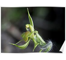 Green Heart lipped spider orchid Poster