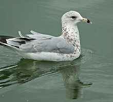 Ring-billed Gull by Jamie  Green