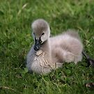 A new Season Black Swan Cygnet. by shortshooter-Al