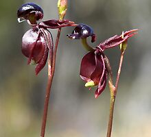 Caleana major - Large Duck orchid. by Cindy McDonald