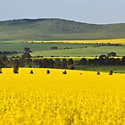 Canola Field - Clare by KathyT