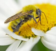 Bee - Solitary Yellow Bee by MotherNature