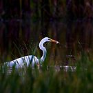 Great Egret by Jim Cumming