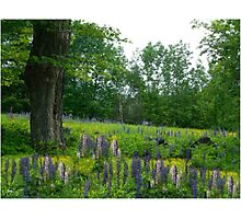 Lupine Maple Colors Photographic Print