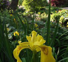 Yellow Iris by Naomi May