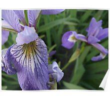 Blue Shoreline Iris Poster